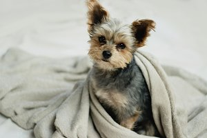 Small cute puppy cosy in a blanket