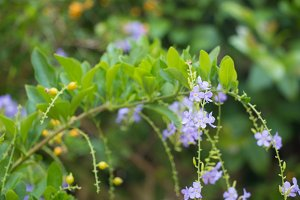 Purple tropical flower Duranta repens