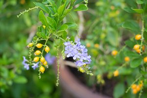 Purple tropical flower Duranta repens