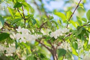 White tropical asian flower Wrightia Religiosa Benth