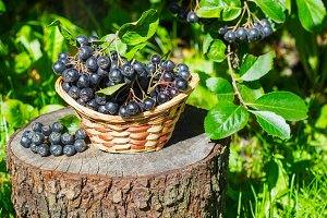 Black ashberry in a basket in the garden