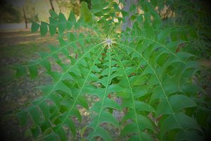 Australian banksia leaves