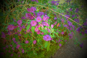 Purple flowering bush