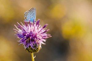 Butterfly on Thistle Flower in bloom in the field