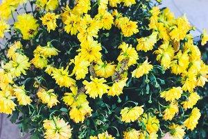 Autumn Flowers (Yellow Mums)