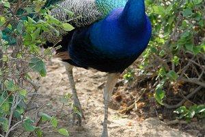 peacock in a garden