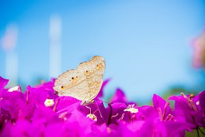 Insect butterfly on pink flowers