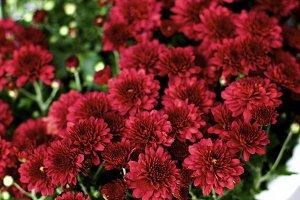 Bushy Red Chrysanthemum