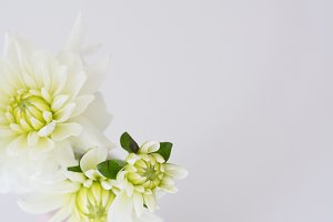 Soft White Dahlias Floral Stock
