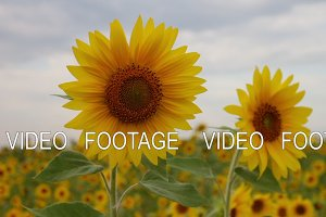 Two sunflowers in a field. Beautiful sunny flowers. Cloudy sky. yellow flower. Sunflower farming
