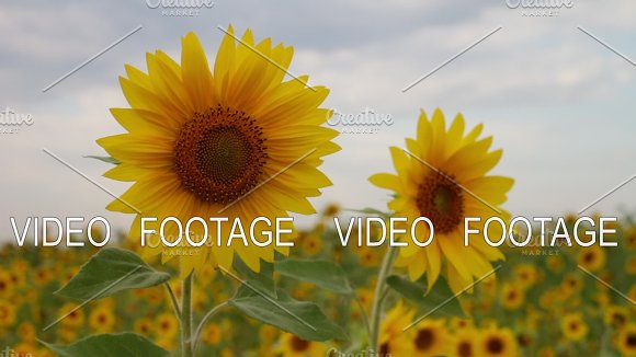 Two Sunflowers In A Field Beautiful Sunny Flowers Cloudy Sky Yellow Flower Sunflower Farming