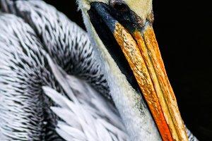 Portrait of a brown pelican.
