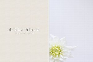White Dahlia Bloom - Styled Stock