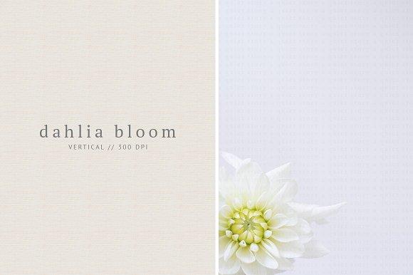 White Dahlia Bloom Styled Stock
