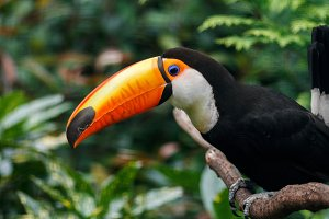 The toucan sits on a branch.