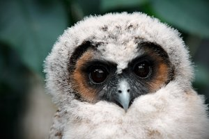 Owl with large eyes close-up.