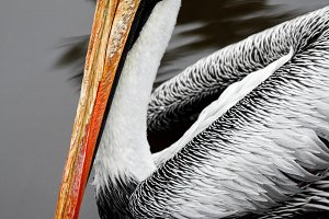 Portrait of a pelican on the water.