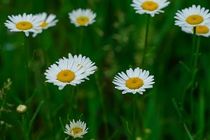 WHITE DAISIES IN THE PARK