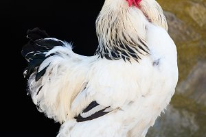 brahma white rooster