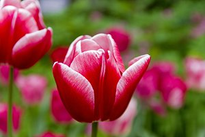 Red and white tulip close-up.