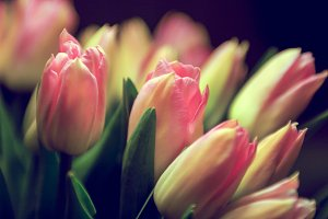Tulips in pink