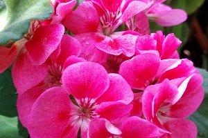 Pink geranium outdoors