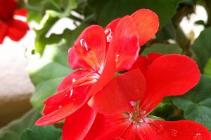 Red geranium outdoors