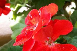 Red geranium outdoors