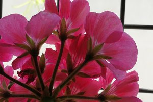 Pink geranium outdoors