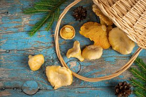 Wild forest mushrooms chanterelles scattered from the basket on old background