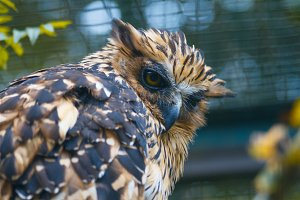 Portrait of a owl. Asio otus owl.