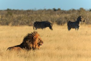Lion licking his mouth with zebras