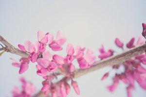 Blue Sky - Spring Blossoms