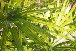 Palm frond macro of saw palmetto leaf