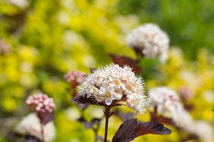 Summer Blooming Wine Ninebark