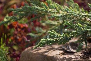 Juniper Tree Green Carpet