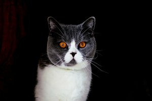 Portrait of British Shorthair cat sits on black background
