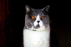 Portrait of British Shorthair cat sits on black background