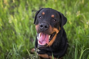 Rottweiler Dog Smiling in Grass