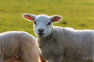 Cute young lamb halo