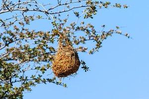 Nest weaver bird on branch