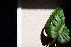 Monstera Leaf In Shadows