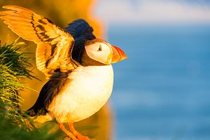 Flapping Puffin At Sunset