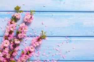 Pink sakura flowers