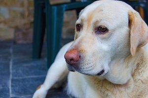Labrador's head