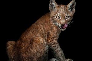 European lynx cub