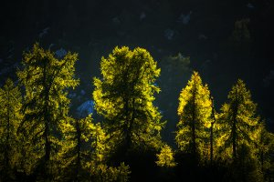 Sunset light in the larches forest