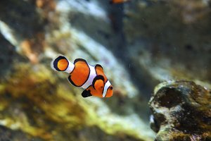 reef fish, clown fish
