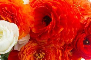 Orange ranunculus fresh flowers