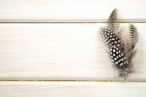 Studio shot of spread of three of black and white spotted patterned and textured guinea fowl feathers white